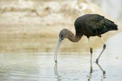 Ibis lucido con le coperture fotografie stock
