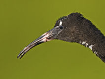 Ibis lucido giovanile Fotografie Stock Libere da Diritti