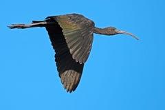 Ibis lucido giovanile in volo Fotografie Stock Libere da Diritti