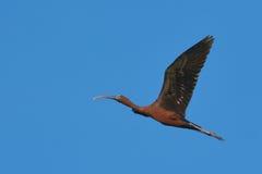 Ibis lucido in volo Fotografie Stock