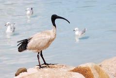 Ibis met zwarte kop royalty-vrije stock foto