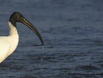 Ibis met zwarte kop - na een onderdompeling royalty-vrije stock fotografie