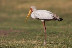 ibis mycteria Royaltyfri Bild