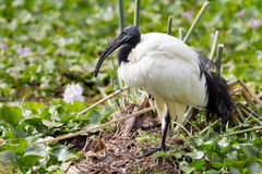Ibis in Naivasha Lake Royalty Free Stock Photo