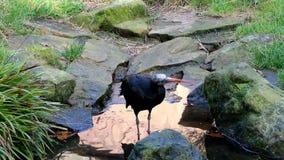 Ibis o ermitaño calvo septentrional de consumición Ibis almacen de metraje de vídeo