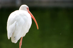Ibis on one leg against green background Royalty Free Stock Image