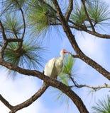 Ibis op een tak Royalty-vrije Stock Afbeeldingen