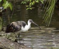 ibis Paglia-con il collo Immagine Stock