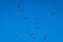 Ibis Paglia-con il collo Fotografie Stock Libere da Diritti