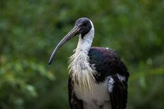 ibis Paglia-con il collo, spinicollis del Threskiornis nello zoo immagine stock libera da diritti