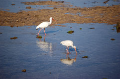 Ibis Pair. A pair of Ibis search the seabed at low tide in Charlotte Harbor Florida. The water is so still their reflections can be seen royalty free stock photo