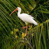 Ibis with Palm Fronds. Close up of an ibis standing on one leg on a mangrove tree in Florida with palm fronds in the background stock photo
