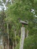 Ibis Plumbeous Fotografia Stock
