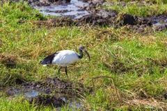 ibis Ptak jest przyglądający dla jedzenia na bagnie Amboseli, Kenja Zdjęcia Royalty Free