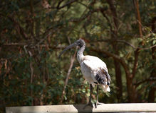 Ibis on railing. Ibis standing on railing in sunshine in Australia Stock Image
