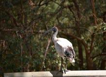 Ibis on railing Stock Image