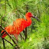 ibis red Royaltyfri Foto