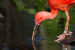 ibis red Royaltyfria Bilder