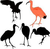 Ibis red birds Stock Photo