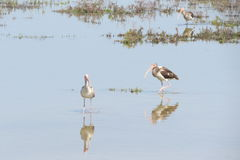 Ibis Reflections Royalty Free Stock Image