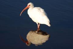 ibis reflexion Royaltyfria Bilder