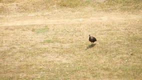 Ibis rojo-naped que busca algo y que toma a vuelo el vuelo ausente en las imágenes de vídeo de tierra de la hierba HD almacen de metraje de vídeo