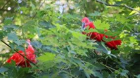 Ibis rojo que se sienta en una rama almacen de metraje de vídeo