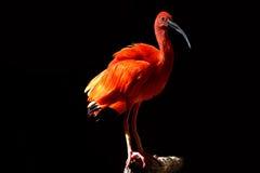 Ibis rosso Fotografia Stock Libera da Diritti