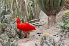 Ibis rosso Fotografie Stock