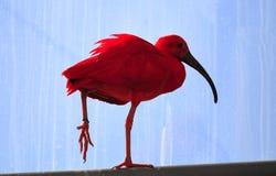 Ibis rosso immagini stock