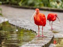 Ibis rosso Immagine Stock Libera da Diritti