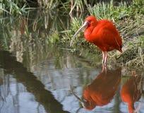 Ibis rosso Fotografie Stock Libere da Diritti