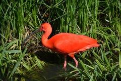 IBIS rouge Photos stock