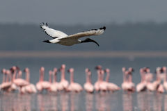 Ibis sacred flies over the lake Stock Images