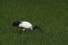 Ibis sacro Fotografia Stock Libera da Diritti