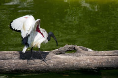 Ibis sacro del Madagascar Fotografie Stock Libere da Diritti