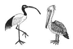 Ibis sacro dell'Africano e del pellicano Uccelli disegnati a mano incisi di vettore, stile d'annata grafico di schizzo, phoenicop Immagine Stock