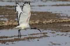 Ibis sacro durante il volo Immagine Stock