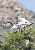Ibis sagrado africano, aethiopicus del Threskiornis, alimentando a dos jóvenes fotografía de archivo