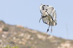 Ibis sagrado africano, aethiopicus del Threskiornis, el venir que vuela adentro aterrizar imagenes de archivo