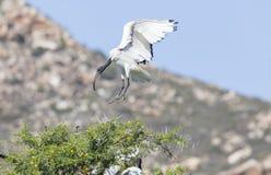 Ibis sagrado africano, aethiopicus del Threskiornis, el venir que vuela adentro aterrizar fotos de archivo