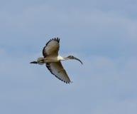 Ibis sagrado no vôo Fotos de Stock Royalty Free