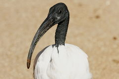 ibis sakralt stirra Royaltyfri Bild