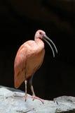 ibis samtal Royaltyfri Foto