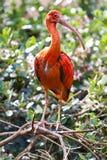 Ibis Scarlet Bird Colorful  Stock Photography