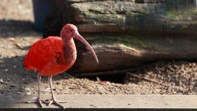 ibis scharlakansrött Royaltyfri Fotografi