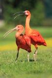 ibis scharlakansrött Arkivbild