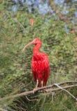 ibis scharlakansrött Arkivfoto