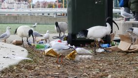 Ibis and Seagulls Eating Trash Litter on Ground