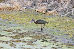 An Ibis searching for food at Lower Klamath Fall. A beautiful Ibis searching for food at Lower lake, Klamath Fall stock images